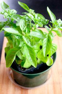 Basil Plant in Green Pot on Wooden Board.