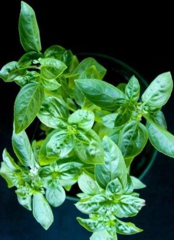 Basil plant on black background.