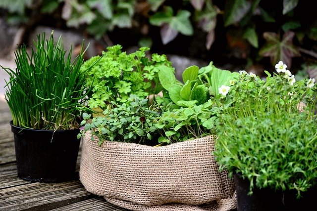Pots and bags of fresh herbs growing